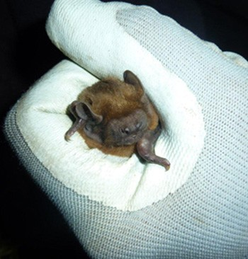Bat Surveys - Bat in surveyors hand - Bat Mitigation